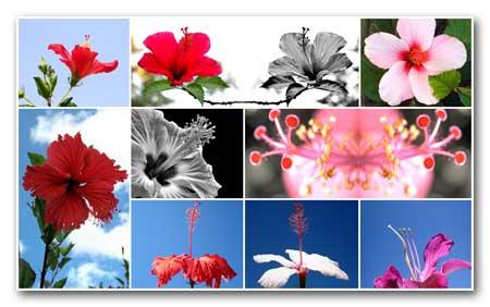 Hibiscus Rosa Collage